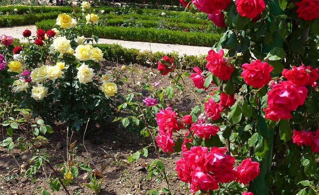Rosas-rojas-y-amarillas-en-Rosaleda-Dehesa-de-Soria