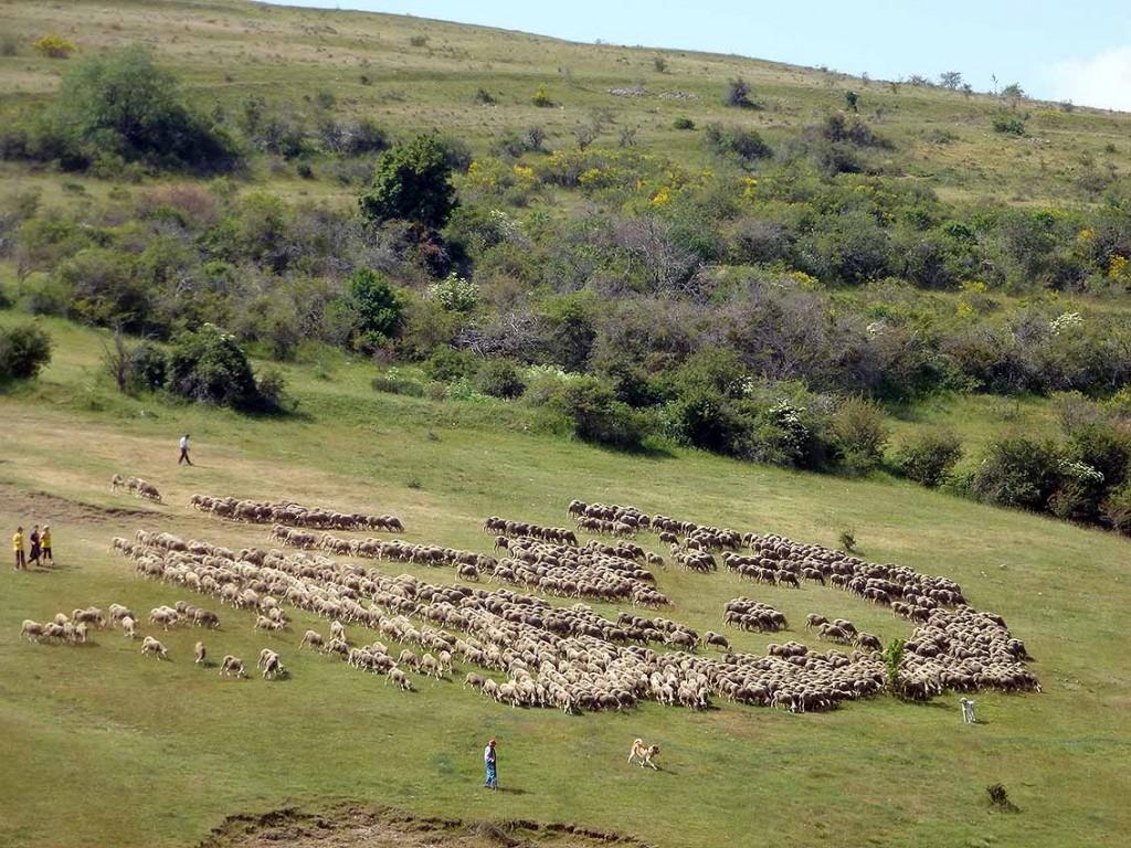 Ganado-trashumante-en-sierra-de-Oncala-Soria