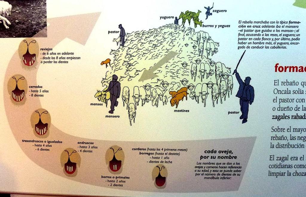 rebaño-trashumante-en-formacion,-Museo-de-Oncala-Soria
