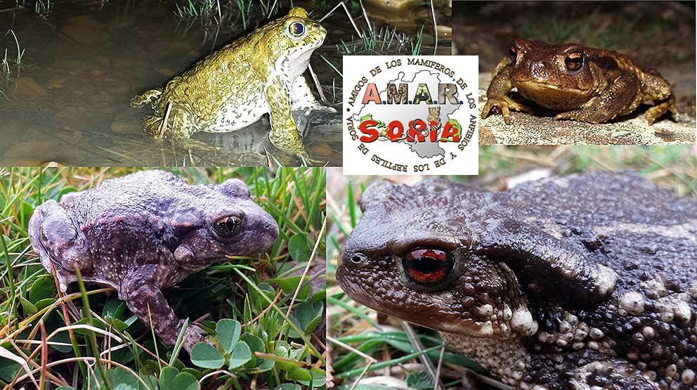 Sapos-en-Soria-blog-Amar-Soria