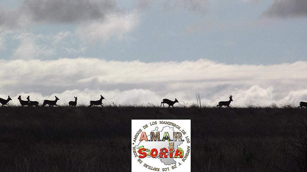 ciervos-y-corzos-en-Soria