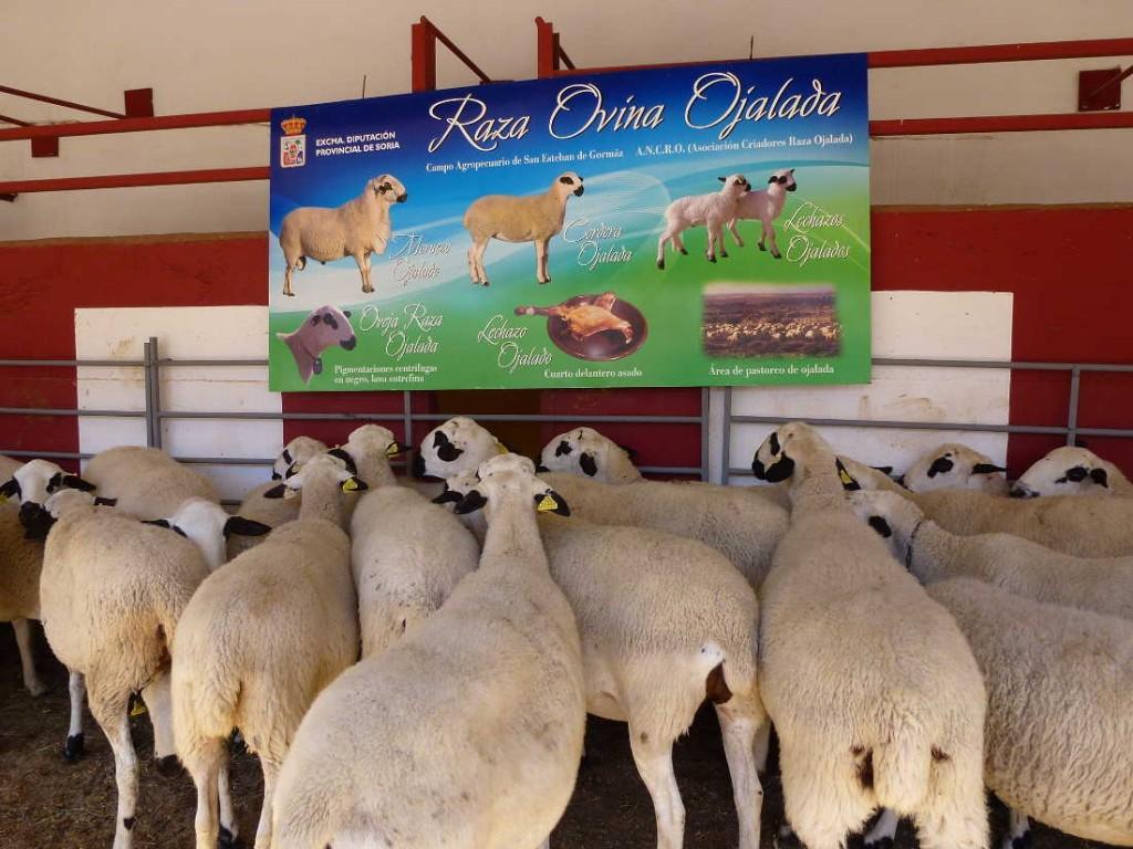 Ovejas Ojaladas en Feria Ganadera de Soria 2015