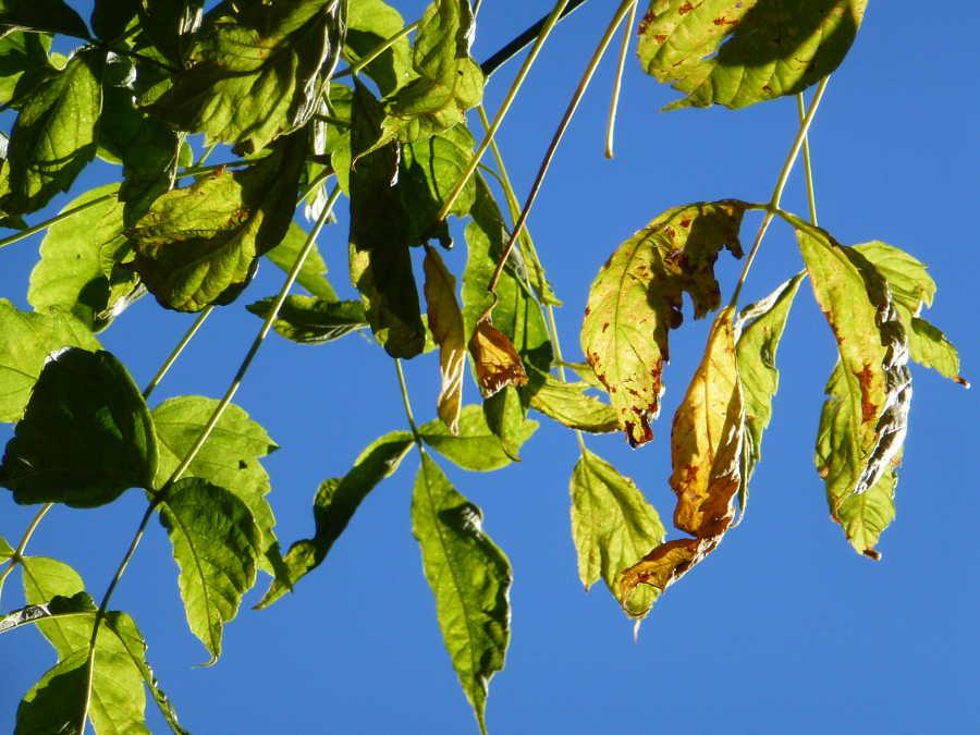 hojas de arce en Dehesa de Soria