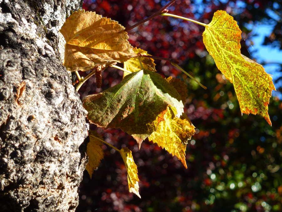 hojas otoñales en Dehesa de Soria