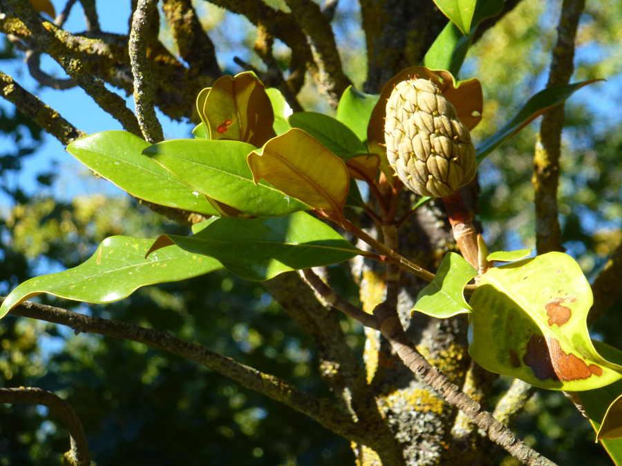 magnolio otoñal Dehesa de Soria
