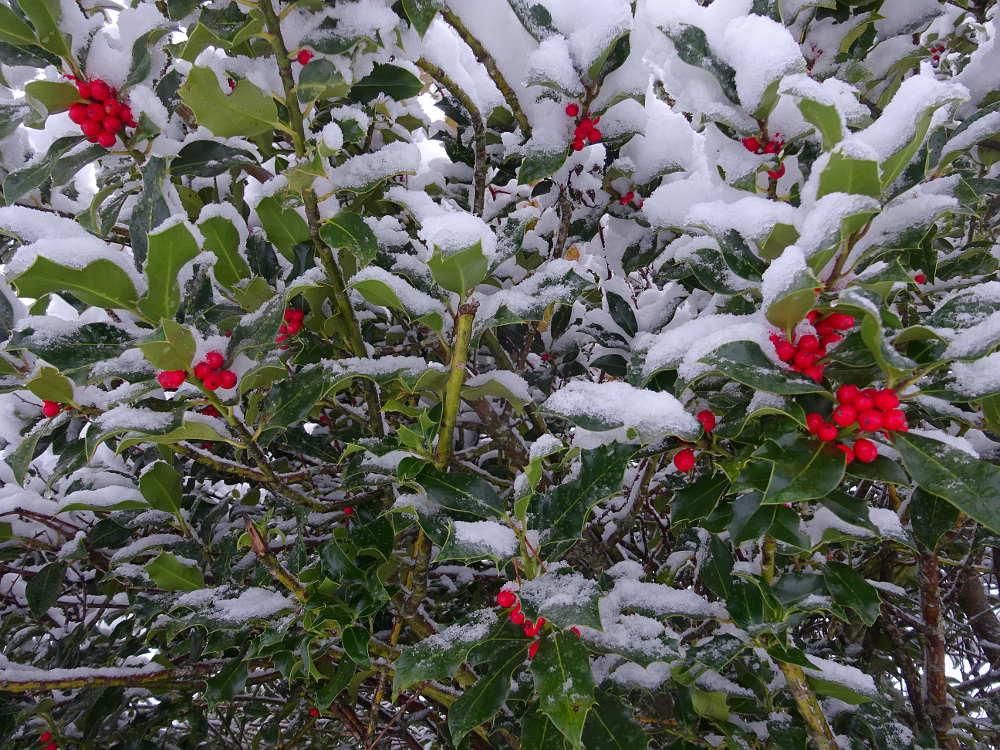 acebo de Soria con nieve