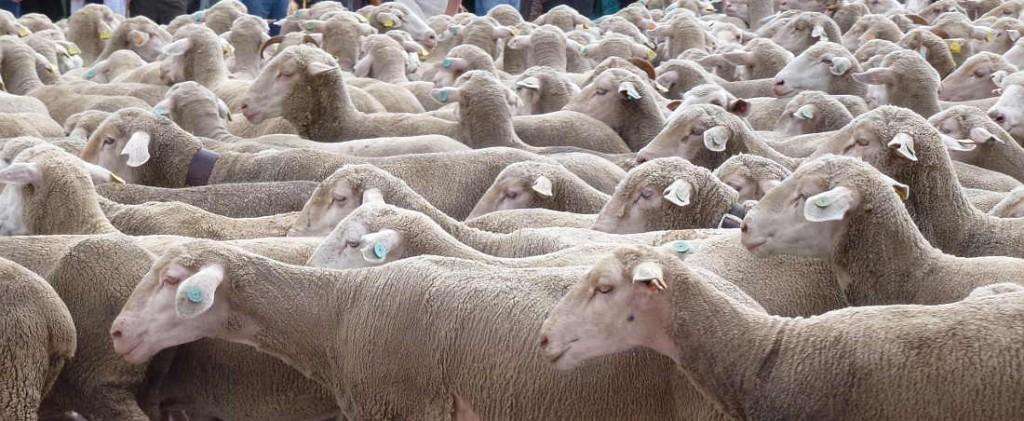 ovejas merinas de Soria_trashumancia