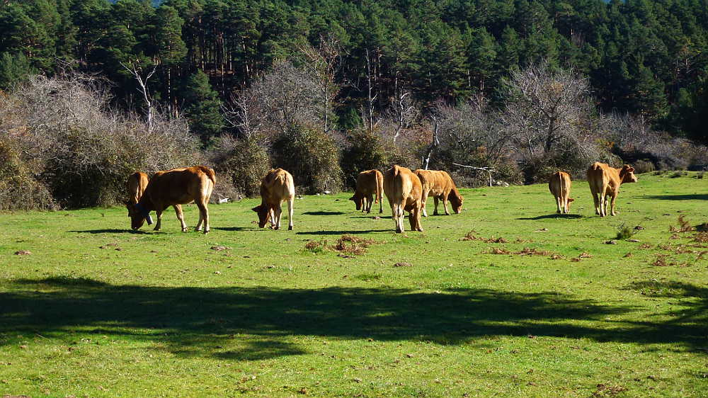 vacas pastando y pinar soriano
