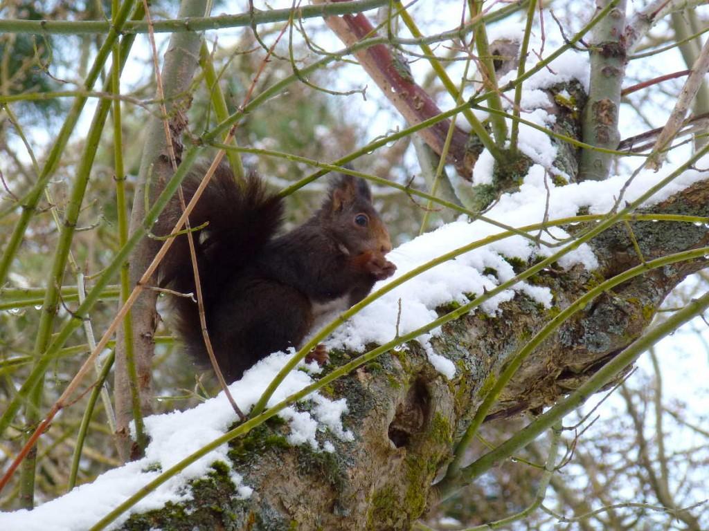 Ardillla en rama nevada Dehesa de Soria