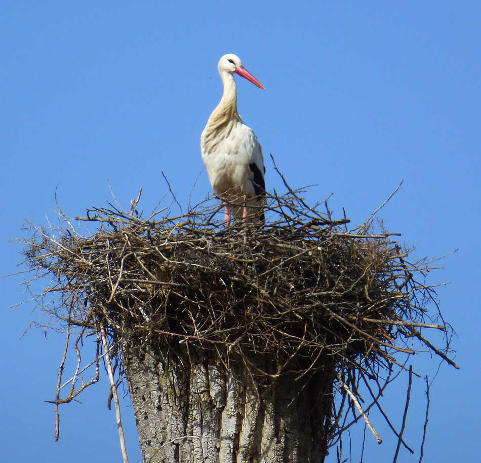 Ciguena de Soria en nido fuente la Teja