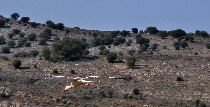 Ciguena de Soria volando fuente la Teja