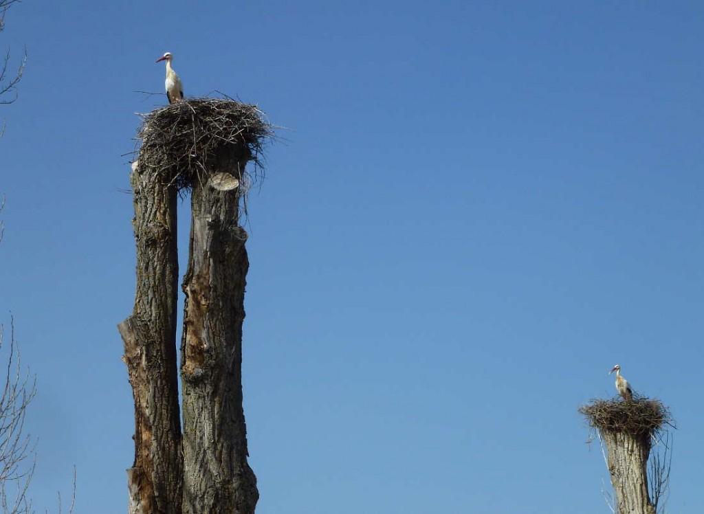Ciguenas de Soria fuente la Teja en dos chopos