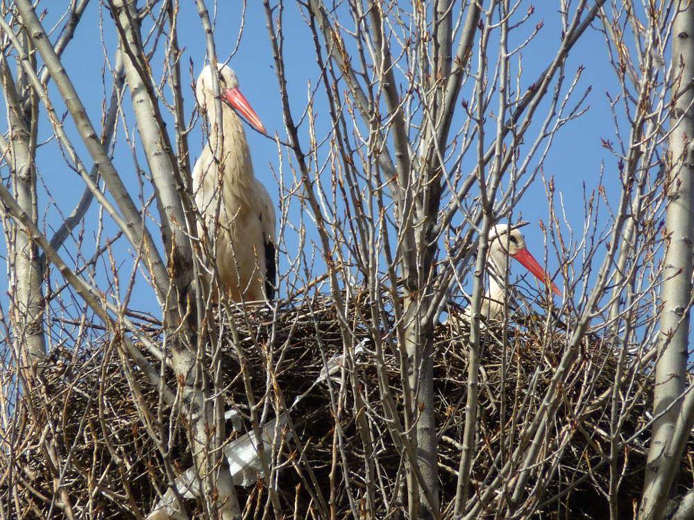 Ciguenas en nido de chopo fuente la Teja de Soria