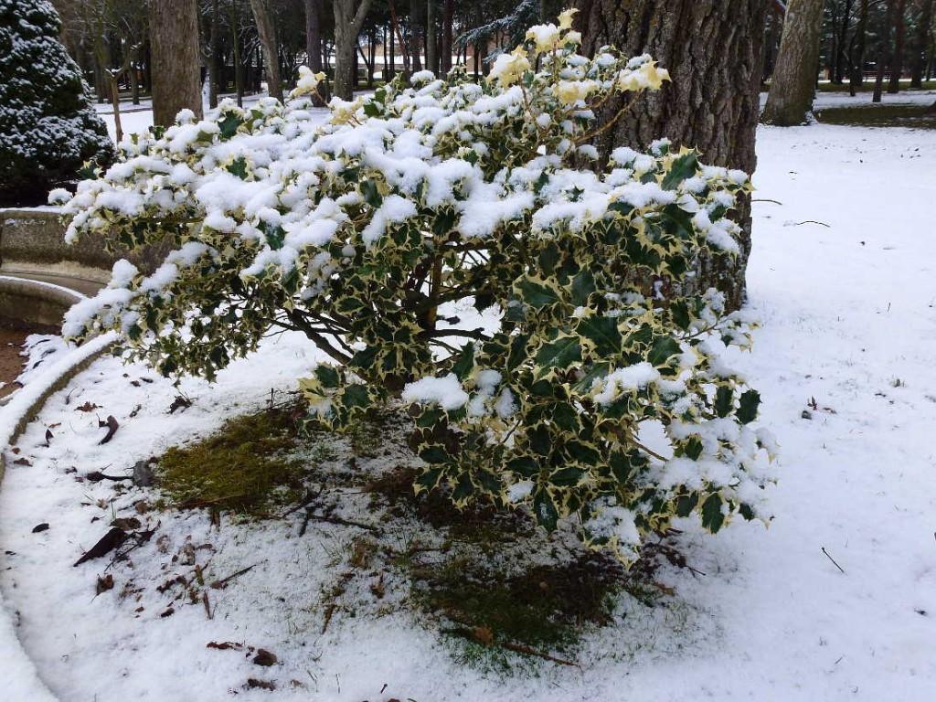 acebo nevado en Dehesa de Soria