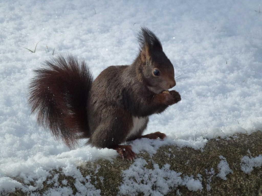 ardilla en la nieve de la Dehesa dde Soria