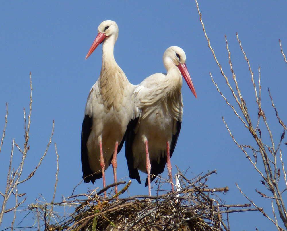 pareja de ciguenas de Soria de Fuente la Teja en nido