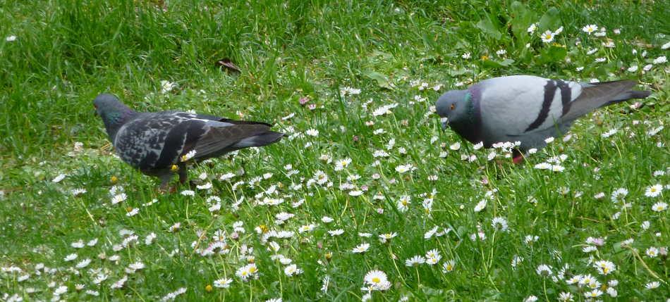 Dos palomas entre margaritas de la Dehesa de Soria