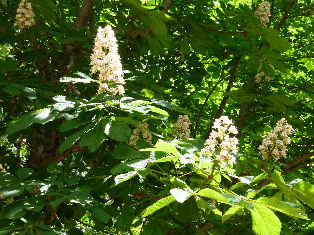 flores del castaño de Indias en Dehesa de Soria 3