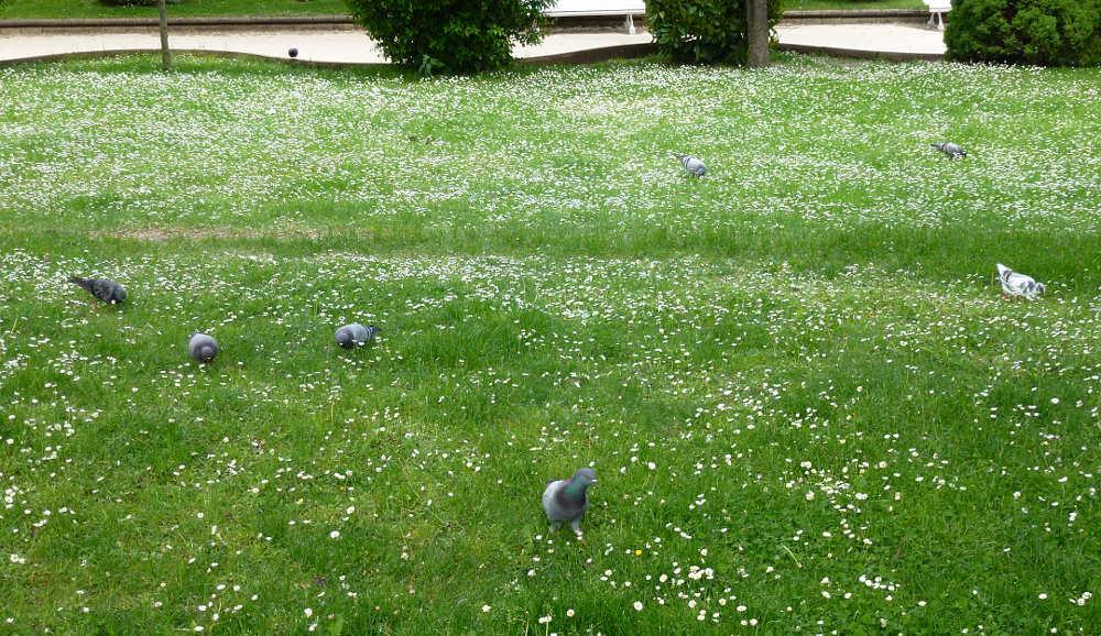 palomas picoteando entre margaritas en Dehesa de Soria