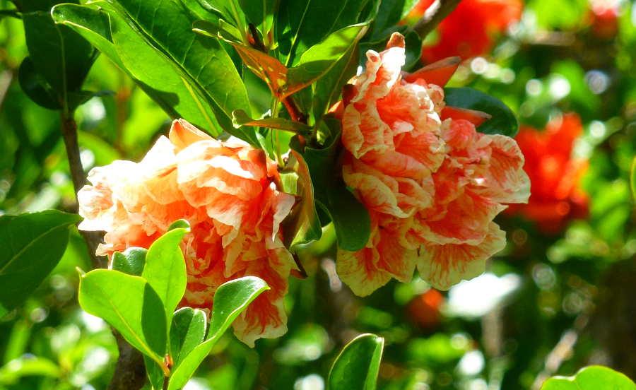 flores rosas del granado Dehesa de Soria