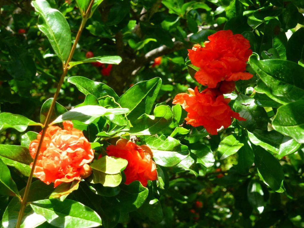 rosas del granado en Dehesa de Soria