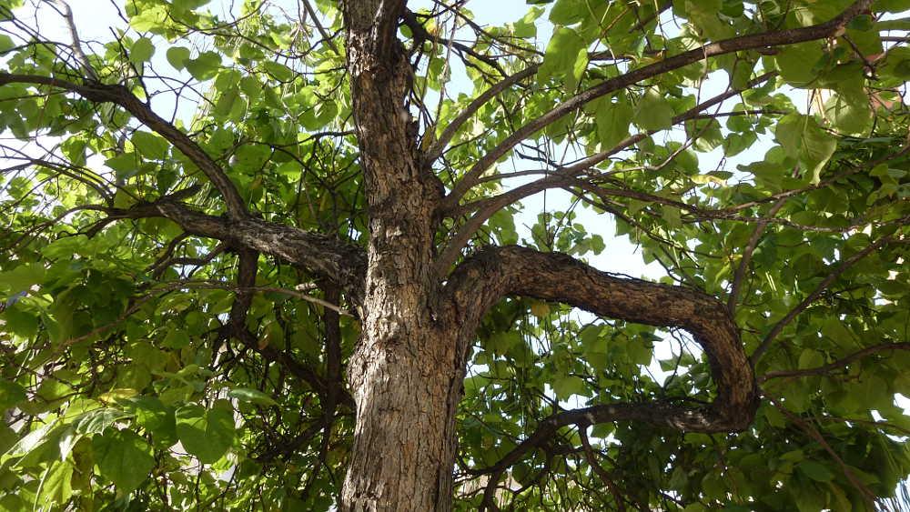 tronco-ramas-y-hojas-de-catalpa-en-soria