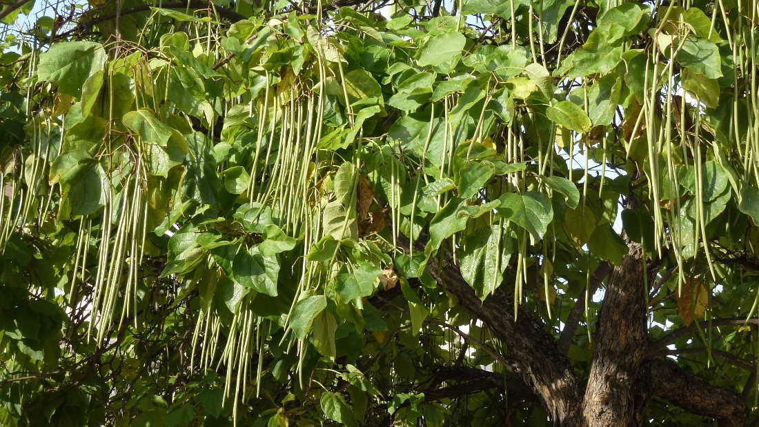 vainas-de-catalpa-y-hojas-en-soria