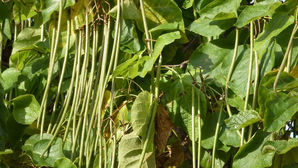 vainas-y-hojas-de-catalpa-en-soria